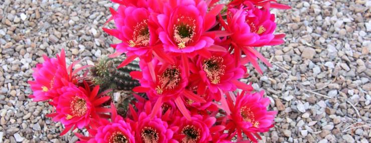 Blooming Cactus Photo